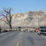 In one of many serendipitous moments, MSU professor William Wyckoff encountered this sheep drive along U.S. Highway 89 north of Gunnison, Utah. (Photo by William Wyckoff).