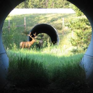 Elk using Banff wildlife crossing underpass