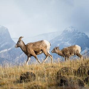 High Elevation Bighorn Sheep