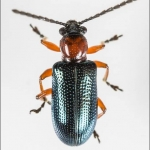 Cereal leaf beetle