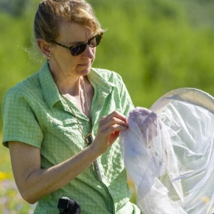 Montana State University conservation ecologist and department head Diane Debinski looks at a Parnassius clodius butterfly in an alpine meadow in the Grant Teton mountain range in July, 2018