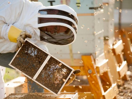 honeybees arriving at MSU | MSU photo by Kelly Gorham