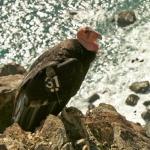 A California condor, part of the Central California flock, perches on a cliff recently near the coastline in Big Sur, California. Photo by of Joe Burnett, Ventana Wildlife Society