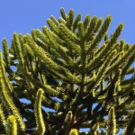 "The monkey puzzle tree grew all over the prehistoric world, but it is becoming increasingly rare. Sometimes called a living fossil, it has appeared in many dinosaur movies, including ""Jurassic Park."" (Photo courtesy of Dave McWethy)."
