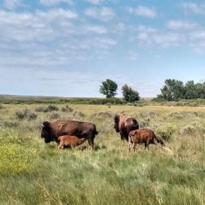 Bison grazing on landscape. Photo provided by Hila Shamoon.