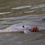 A new study from a Montana State University-led team has determined the cause of the endangered pallid sturgeon's failure to successfully reproduce in the wild. Chris Guy/USGS photo.