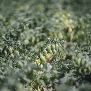 Pea crop