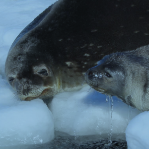 Weddell Seal and Pup