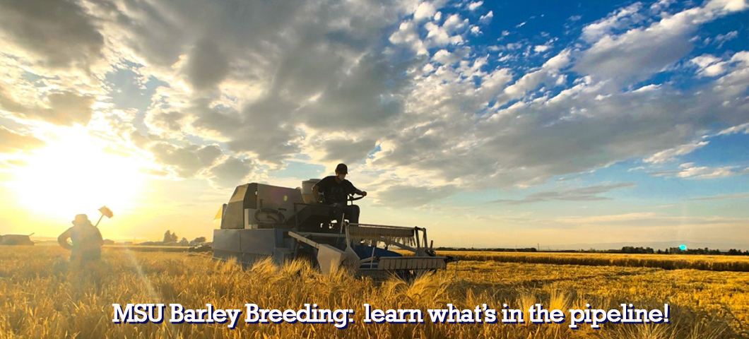 Barley breeding is a 10-12 year process, learn what our breeder has in the pipeline in our breeding section.