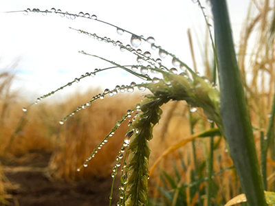 Barley on a dewy morning