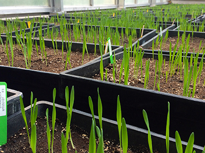 Barley research in the greenhouse