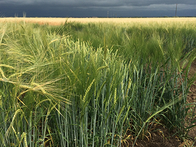 Barley in breeding program field