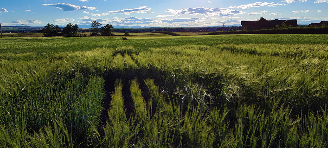 2020 MSU Virtual Field Day - barley field