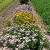 Row of purple and yellow flowers