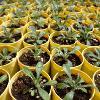 Plants in yellow pots
