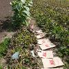 Rows of plants with paper bags arranged in a line between two rows