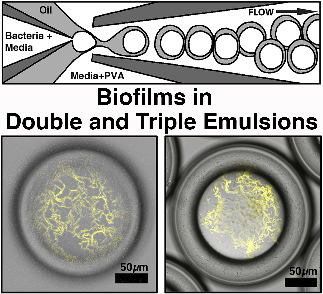biofilms in double and triple emulsions