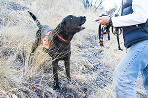 Wibaux barks to let her handler know that she has detected another Dyer's woad plant. (MSU photo by Sepp Jannotta).