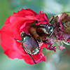 Japanese beetle adults feed on a rose. (Photo by Whitney Cranshaw, Colorado State University, Bugwood).