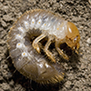 This is a Japanese beetle larva. (Photo by David Cappaert, Michigan State University, Bugwood.org).