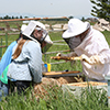 "Laura Brutscher (right, in full beekeeping suit) shows a hive frame to students who became ""Honey Bee Investigators"" during the  2013 Montana State University Peaks and Potentials Camp in Bozeman. (Photo courtesy of Laura Brutscher)."