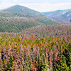Beetle-killed forests, such as this one in the East Garnet Range of Montana, are at increased risk for fires. (Photo courtesy of Peter Kolb, MSU Extension Forestry).