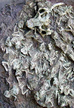 dinosaur psittacosaurus research paper Category: essays research papers title: extinction on dinosaurs my account extinction on dinosaurs  term paper, or research paper how to cite this page mla .