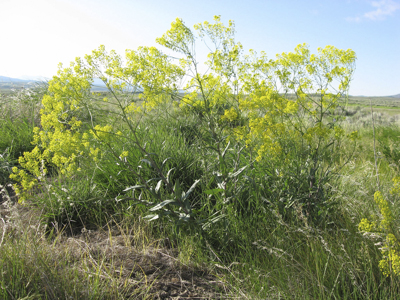 Dyer's woad can grow four inches a week.  It can be waist high when blooming. (Photo courtesy of Amber Burch).
