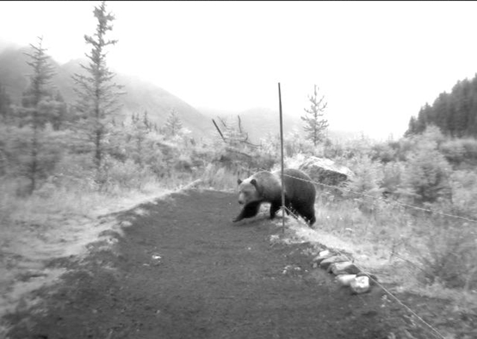 A grizzly bear passes through a hair-snagging system used to study the DNA of bears using a wildlife overpass above the Trans-Canada Highway in Banff National Park. Photo by Banff Wildlife Crossings Project.