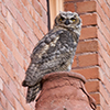 Four great horned owls have taken up residence at Montana Hall in the heart of the Montana State University campus. University students and employees say they're fun to watch and also provide evidence of a robust campus ecosystem. MSU photo by Kelly Gorham.
