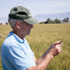Luther Talbert, professor of plant breeding and genetics specializing in developing Montana spring wheat varieties, examines a head of Egan wheat in a field at the MSU Arthur A. Post Research Farm near Bozeman. Bred for a gene that prevents the midge larva from developing, Egan represents perhaps the hardest line of defense in the effort to combat the orange wheat blossom midge. MSU Photo by Sepp Jannotta.