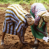 Women farmers in Kenya plant corn with a fresh batch of the mixture that kills Striga, or witchweed. (Photo by Sonya Iverson).