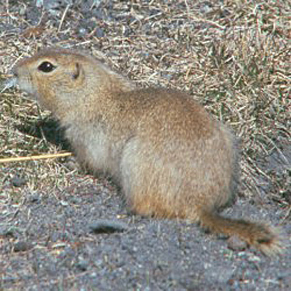 Gopher hunters could be fighti...