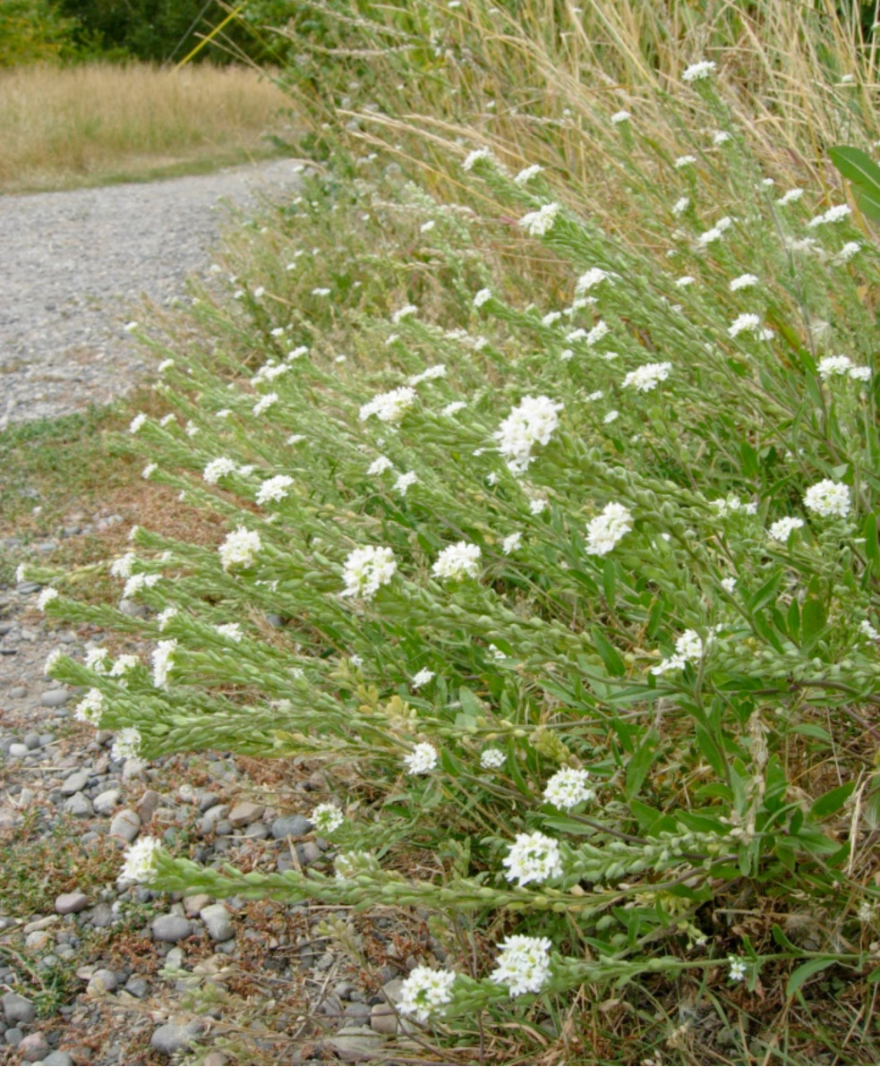 Hoary alyssum a weed to watch for on your property mightylinksfo
