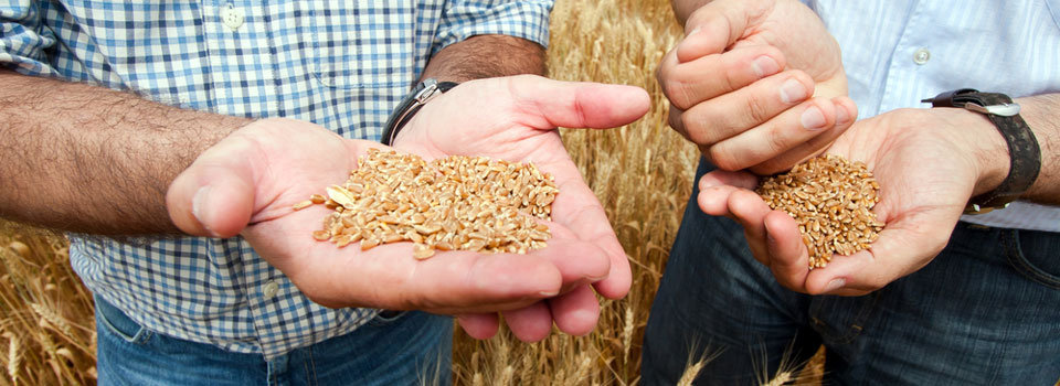 Montana Local Grains