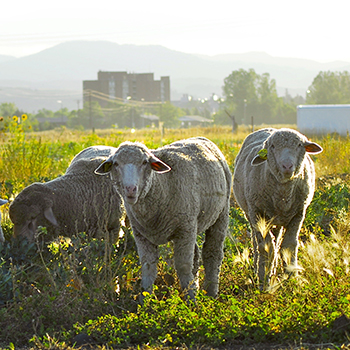 close up of three sheep in a meadow