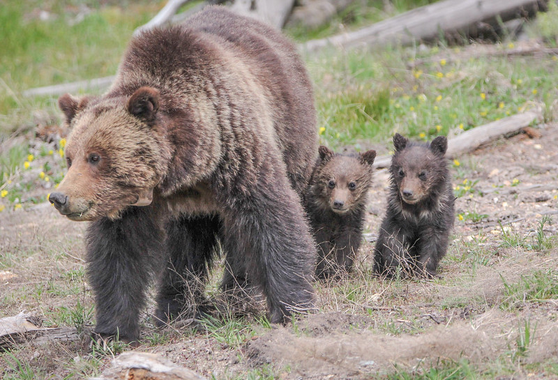 Grizzly with cubs (NPS Photo)