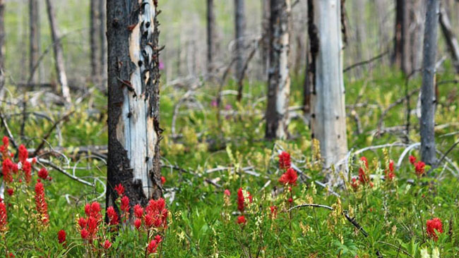 Indian Paintbrush flowers in a burnt forest.