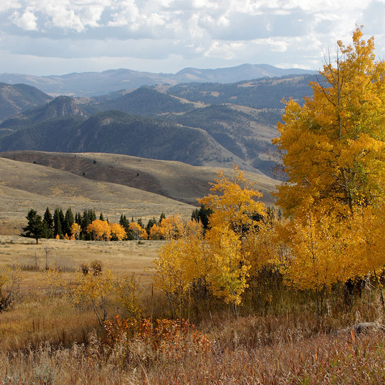 Yellow aspen trees in the foreground of Gallatin National Forest
