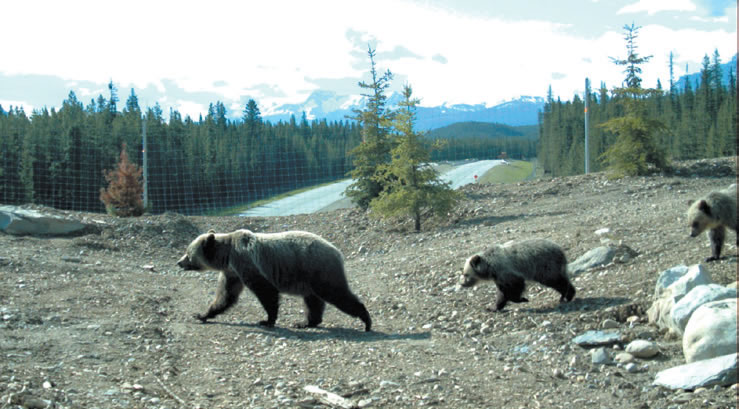 bear and cubs cross wildlife overpass