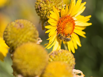 bee on yellow flower - image by Kelly Gorham