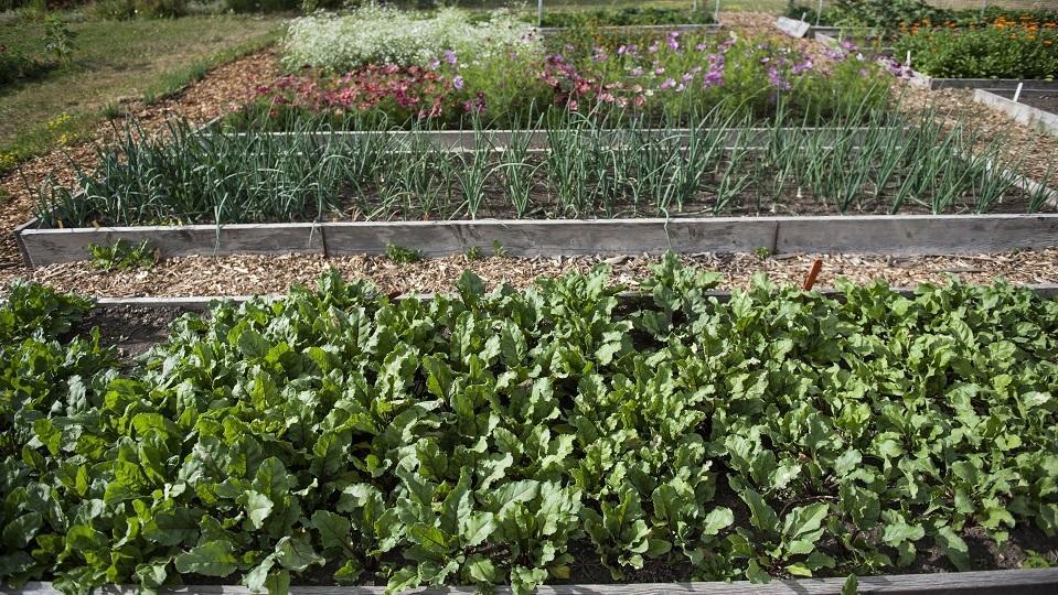 several wooden garden beds growing crops
