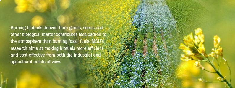 Burning biofuels derived from grains, seeds and other biological matter contributes less carbon to the atmosphere than burning fossil fuels. MSU's research aims at making biofuels more efficient and cost effective from both the industrial and agricultural points of view.
