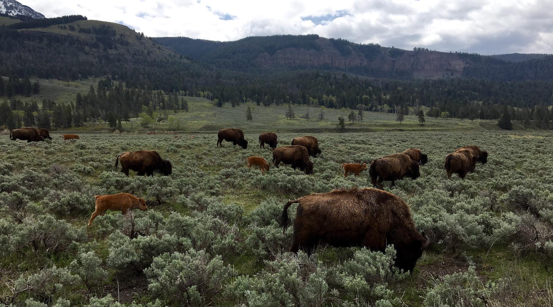 Bison graze in Yellowstone National Park