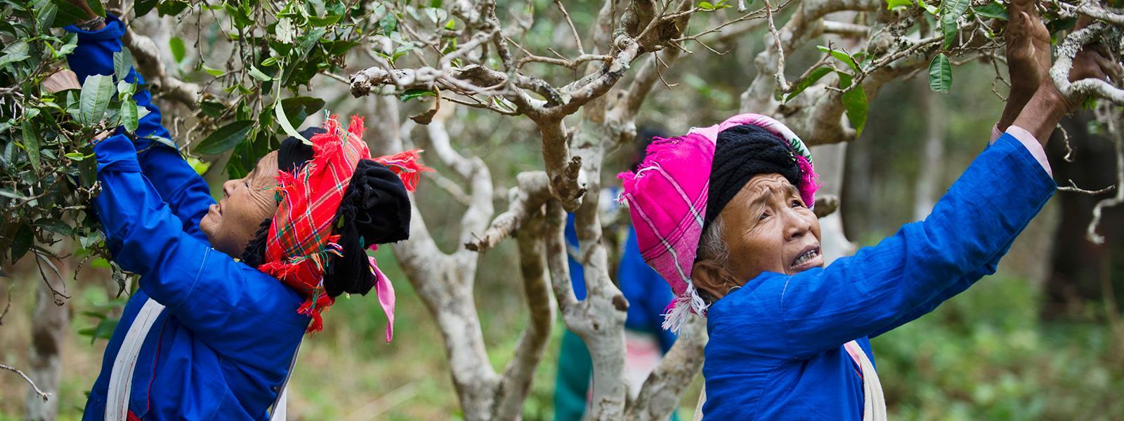 Women picking fruit off trees