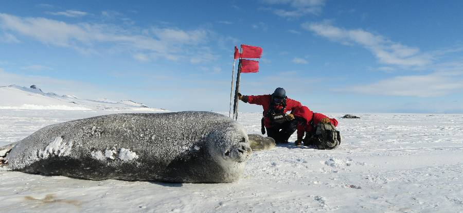 Members of the Antarctica research team survey a Weddell seal population. Photo by Jay Rotella