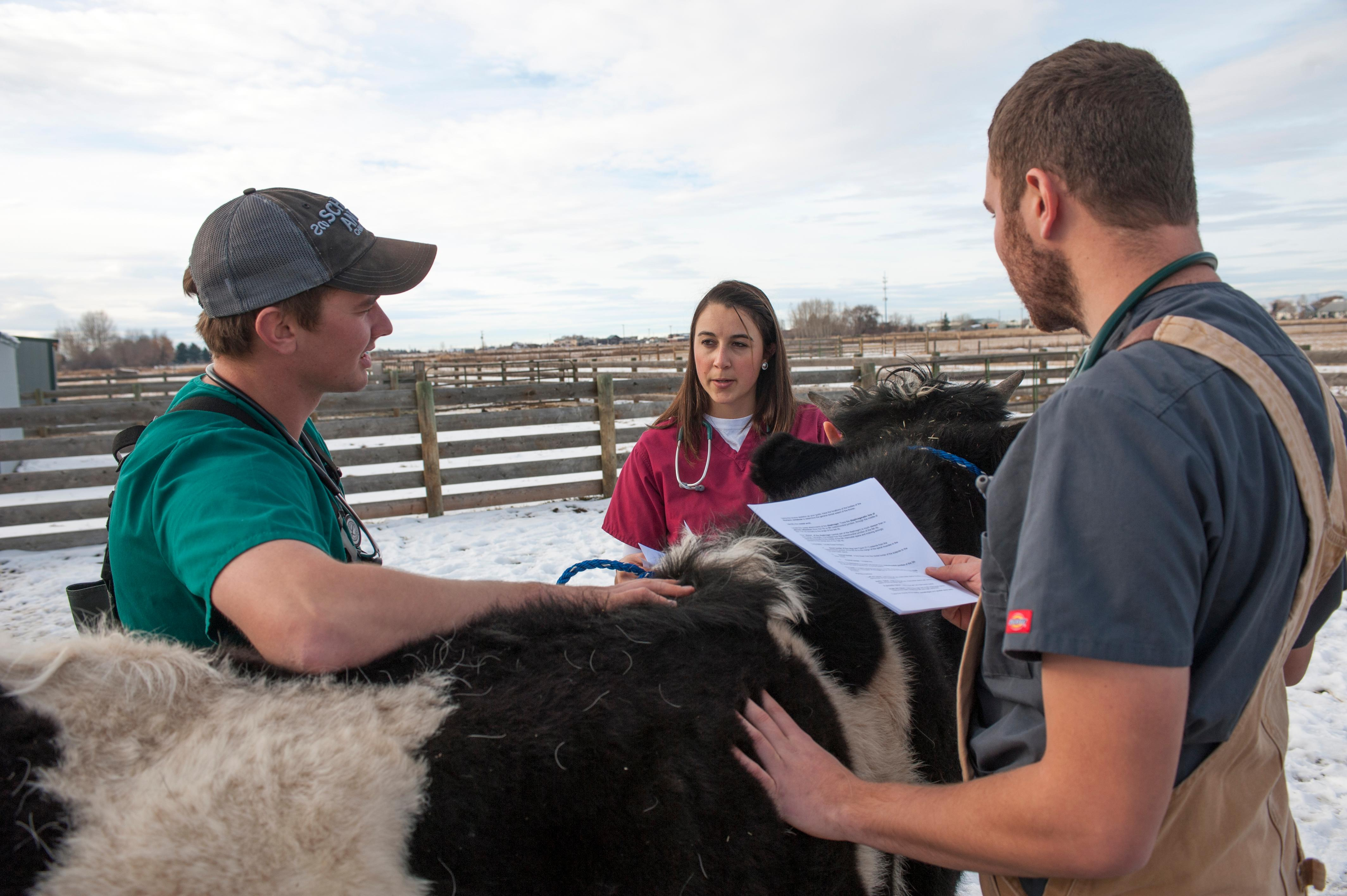Three students talking next to a cow