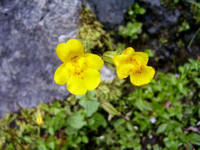 Two small yellow flowers