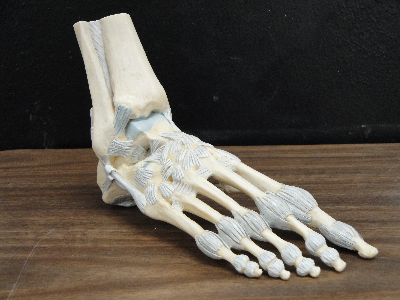 Skeletal human foot