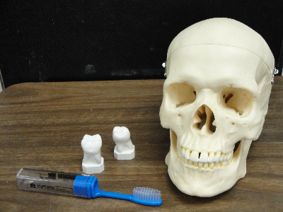 Human skull, toothbrush, and teeth